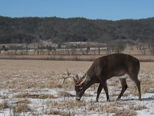 buck in cades cove