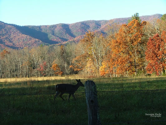 deer in Cades Cove during fall