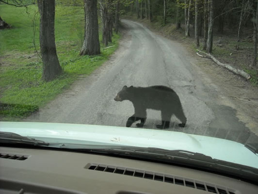 bear crossing in front of a cades Cove tour bus