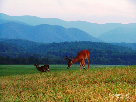 Deer in Cades Cove